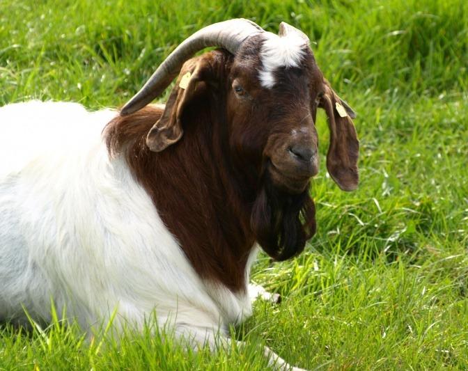 Eine Ziege sitzt im Gras