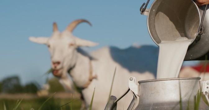 Ziegenmilch wird in einen Eimer geschüttet