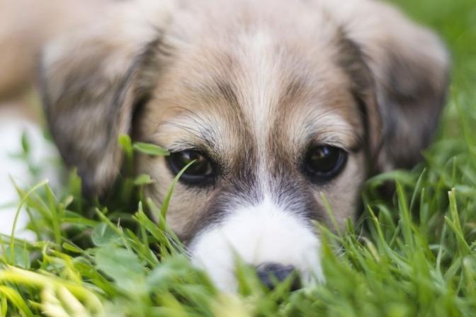 Ein Welpe liegt im Gras