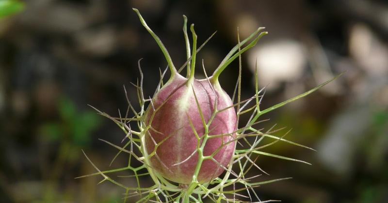 Eine Fruchtkapsel der Schwarzkümmelpflanze