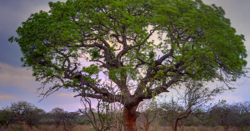 Marulabaum, Elefantenbaum