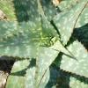 Eine Aloe Vera ist zu sehen