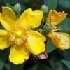 Die Blüte zur Anwendung Johanniskraut (Hypericum perforatum, Hyperiaceae) ist zu sehen