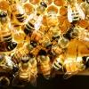 Bienen erzeugen auf einer Wabe Gelee Royale