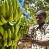 Ein Arbeiter ist auf einer Fairtrade Bananen Plantage