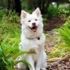 Ein sehr zufriedener, prachtvoller weißer Lapphund schaut freudig in die Kamera, während er auf einer Wiese sitzt.