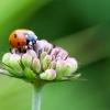 Ein Marienkäfer sitzt auf einer Blume