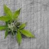 Hanfblätter auf einer Hanfpflanze