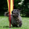Ein grauer Hund läuft durch Slalom-Stangen