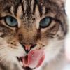 Eine Katze schleckt sich ihr Maul