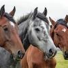 Eine Nahaufnahme dreier Pferde, die nebeneinander stehen und in die Kamera blicken.